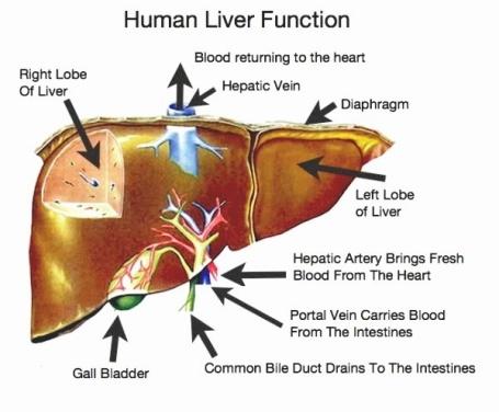 Obat Penyakit liver Ampuh